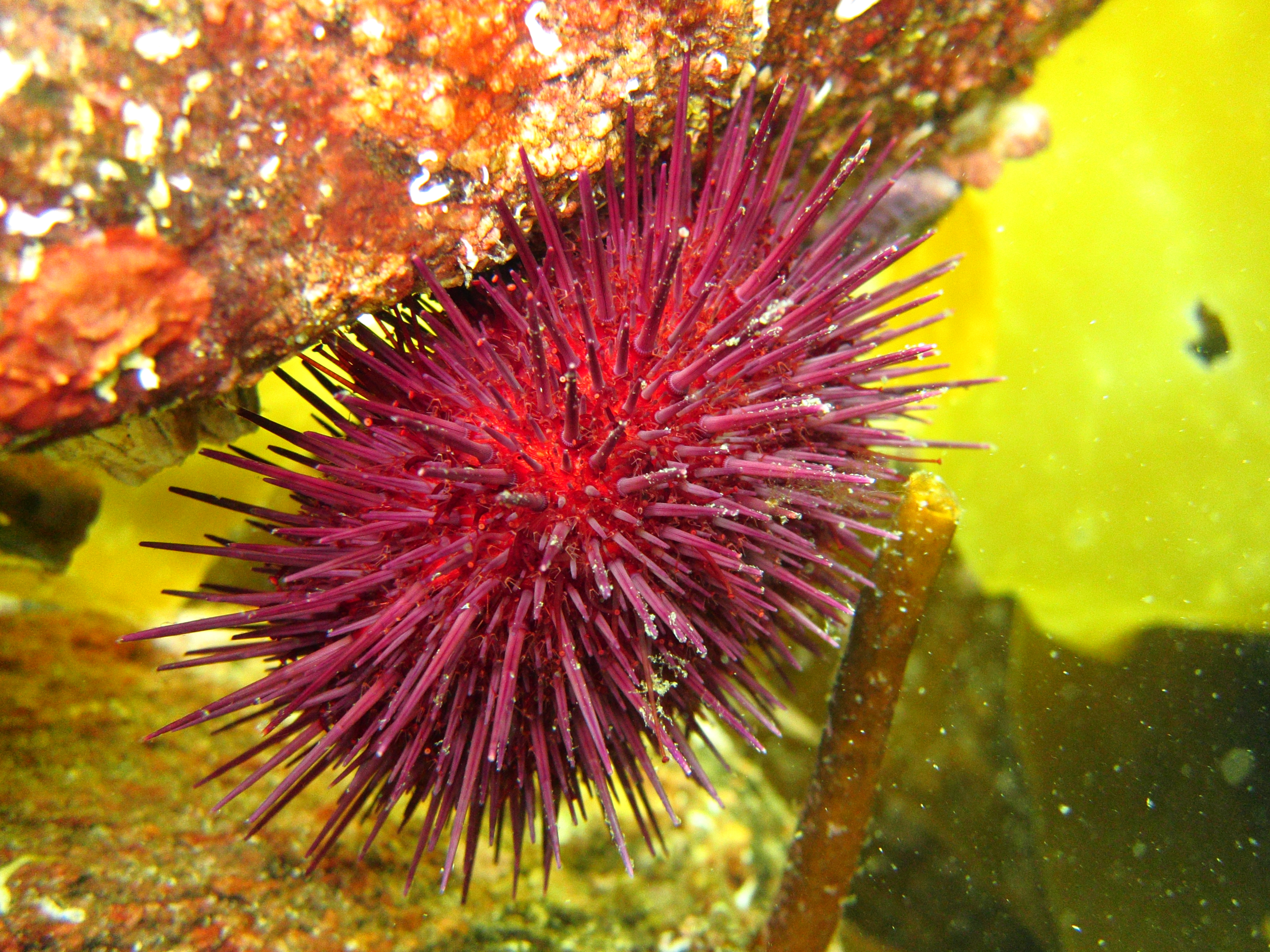 Picture of a sea urchin